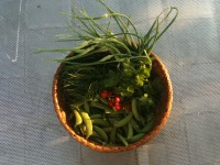 06_15_12_harvest:  snaps peas, garlic scapes, agretti, strawberries, fresh coriander